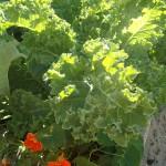 Boerenkool, Kale