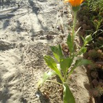 Calendula growing on sand