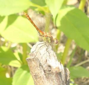 Dragonflyb2