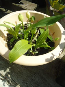 Daslook - Wild Garlic before flowering in April 2014